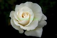 Белая роза на черном фоне