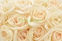 Белые нежные розы
