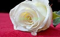 Белая роза на полотне