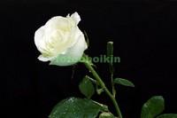 Белая роза с листьями