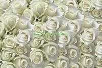 Ковер из белых роз