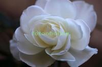 Чайная белая роза