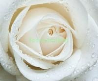 Белая роза макро фото