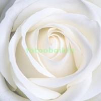 Белосненая роза