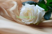 Белая роза на шелковом полотне