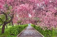 Аллея с цветущей сакурой