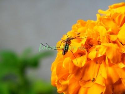 Комар цветок