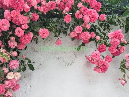 Цветы кустовой розы