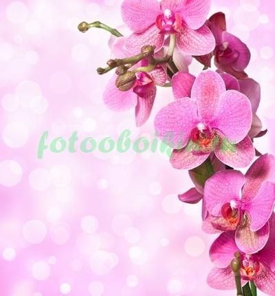 Соцветие розовых орхидей