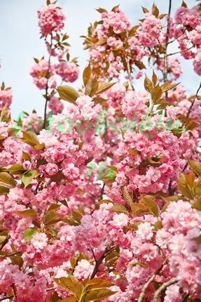 Весна в саду. Сакура
