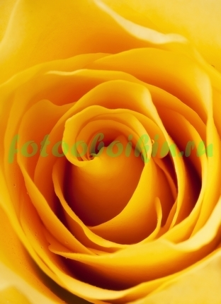 Фотообои Чайная роза