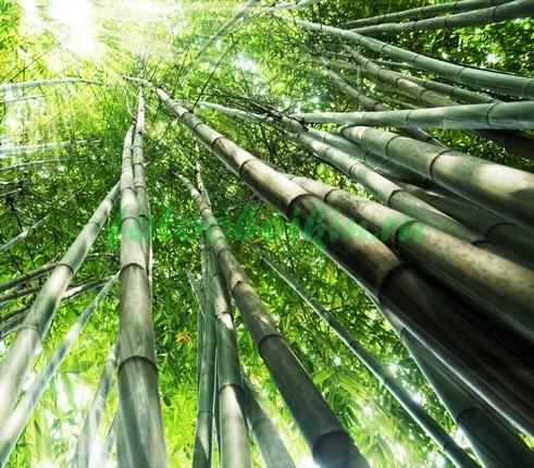 Тонкие стволы бамбука