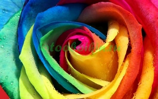 Роза радуга