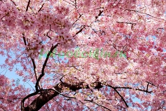 Фотообои Дерево сакуры