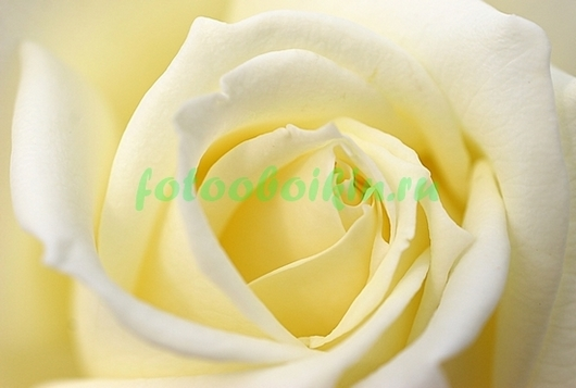 Роза для возлюбленной