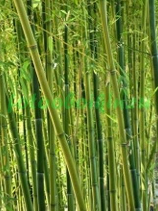 Много бамбука