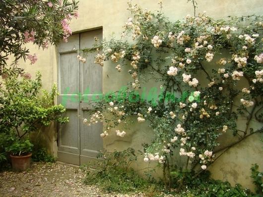 Вьющаяся роза