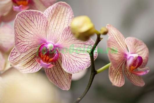 Орхидея с розовыми прожилками