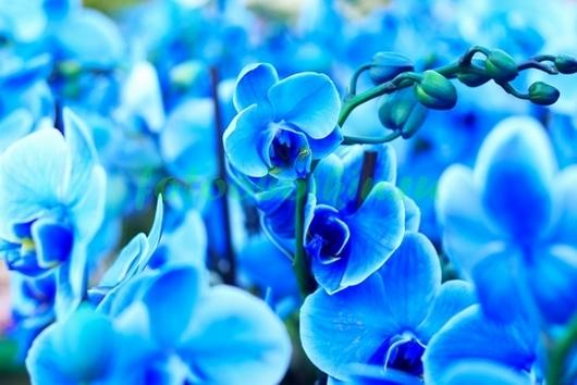 Голубые орхидеи