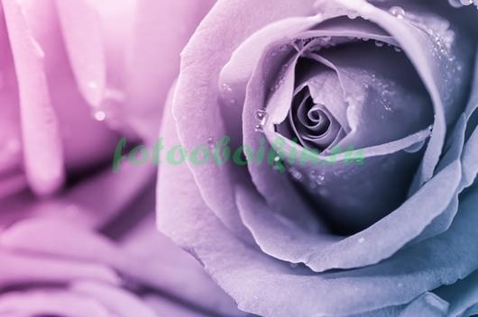 Лиловая роза с каплями росы