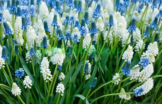 Бело-синие цветы