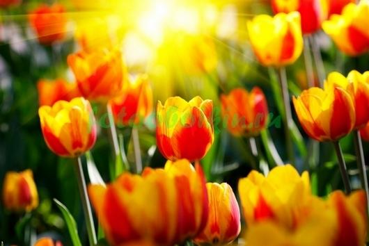Тюльпаны под солнцем