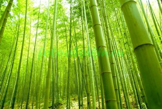 Лес бамбука