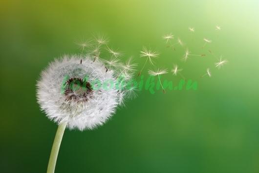 Одуванчик на ветру