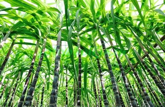 Чаща бамбука