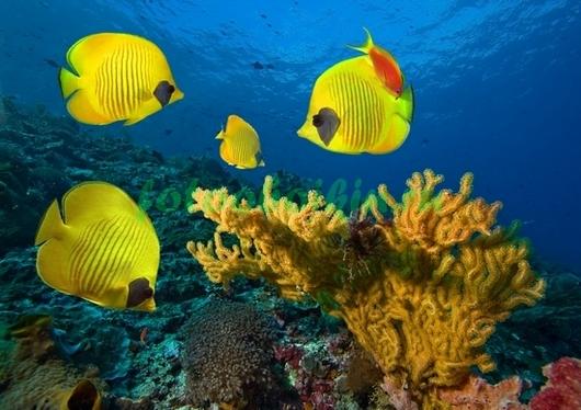 Желтые рыбки бабочки
