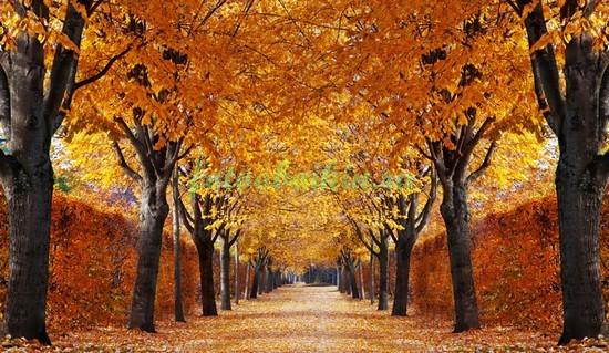 Осенний парк с кленами
