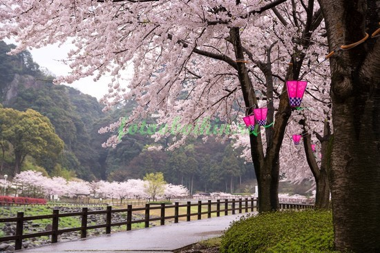 Парк с сакурой