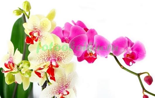 Две ветви орхидеи