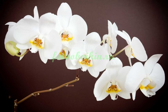 Белая орхидея а темном фоне