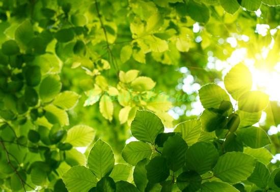 Листья дерева