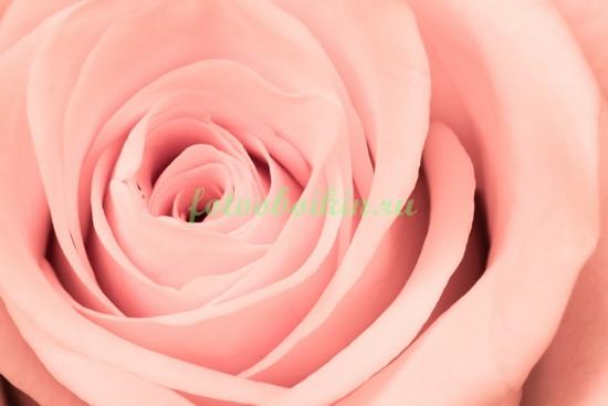 Розовая розочка