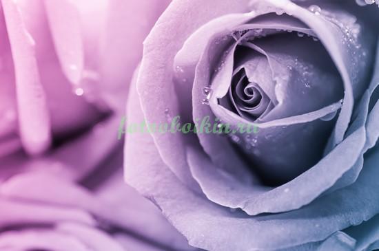 Фиолетовая розочка