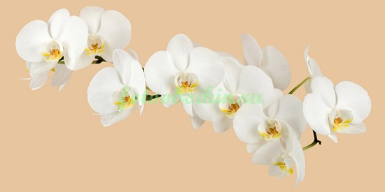 Орхидея на бежевом фоне