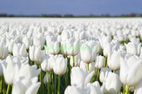 Поле белых тюльпанов