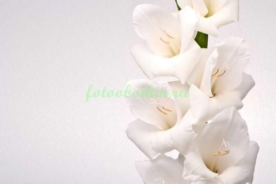 Белый гладиолус