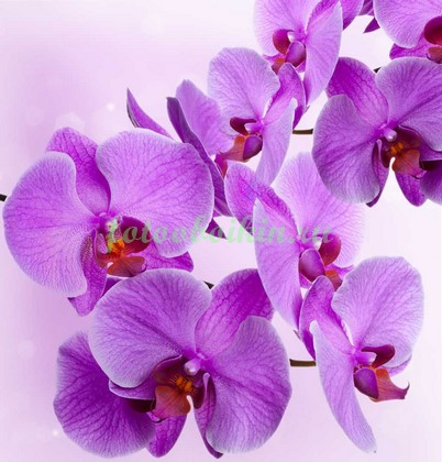 Ярко пурпурная орхидея