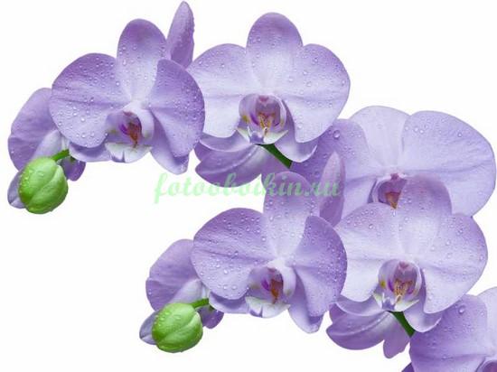 Светлосиреневая орхидея