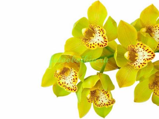 Ярко желтая орхидея