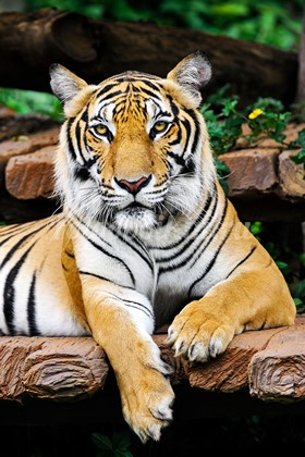 Фотообои Тигр в зоопарке