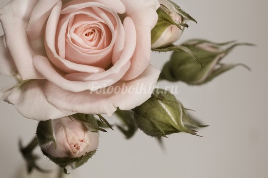 Нежная роза на бежевом фоне