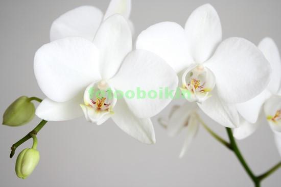 Фотообои Белая орхидея с бутоном