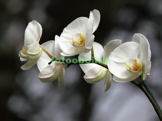 Фотообои Орхидея ветка