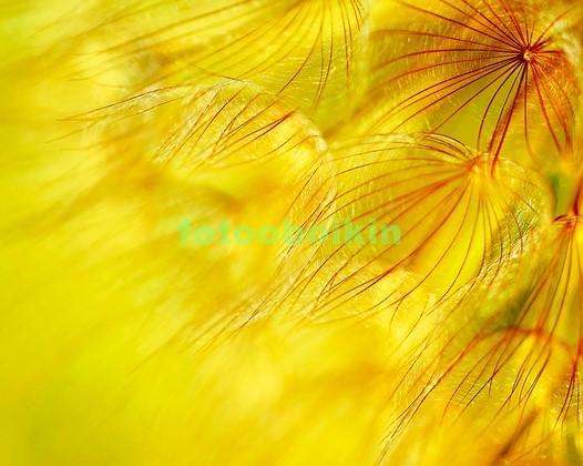 Фотообои Желтый белый одуванчик