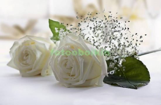 Фотообои Белые две розы