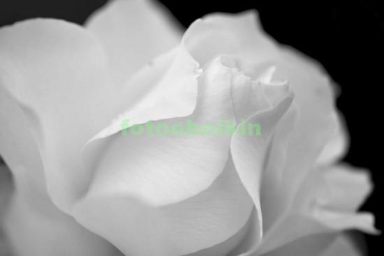 Фотообои Бутон белой розы